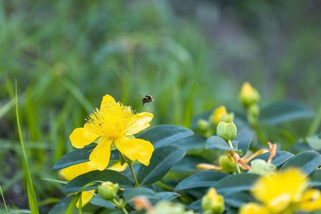 Bienen sind bedroht – mit den richtigen Gartenpflanzen bietest du Lebensraum und Nahrung.