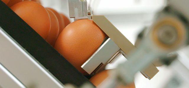 Brut-Eiern wird per Injektionsnadel Flüssigkeit entnommen