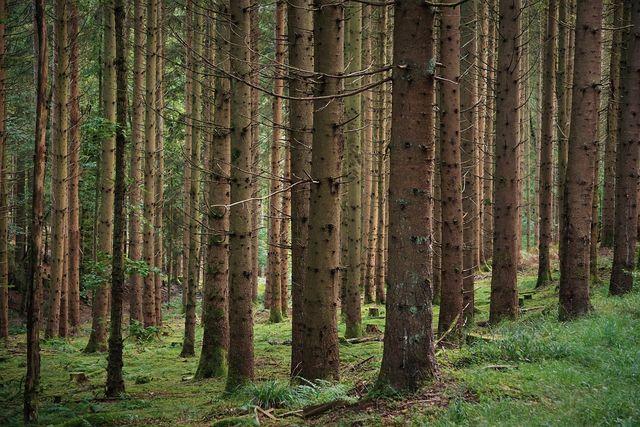 Nadelwälder sorgen eher für eine Bodenversauerung.