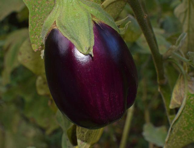 Erst wenn die ganze Frucht einheitlich gefärbt ist, ist die Aubergine reif.