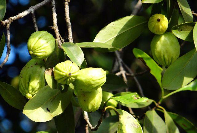 Tamarindenbäume wachsen vorrangig in Asien und Südamerika.
