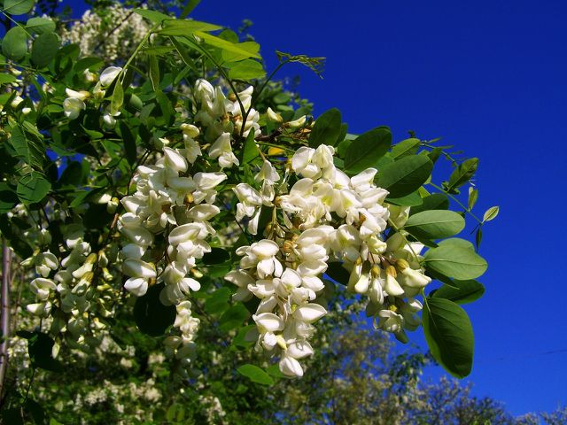 Robinien haben große weiße Blüten.