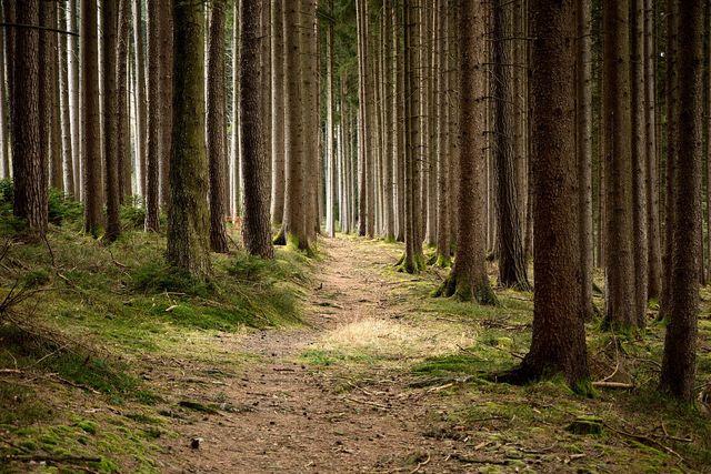 Fichtenwälder sind in Deutschland weit verbreitet.