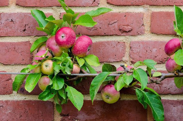 Apfelbaum zum Schnurbaum gezogen