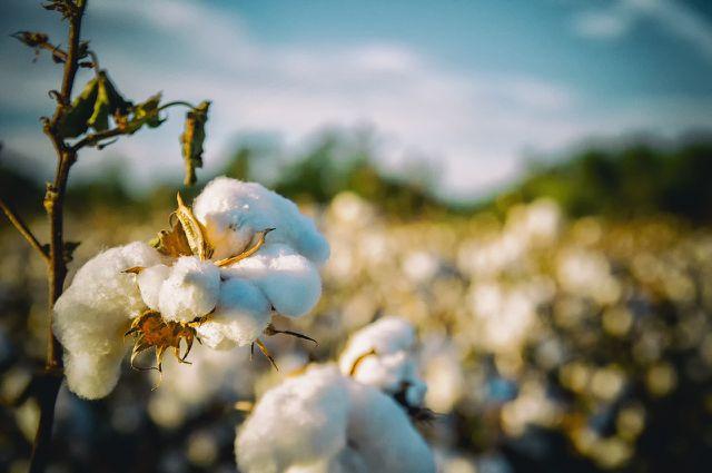 Auch Baumwolle gibt es aus fairem Handel.