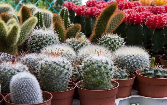 houseplants cacti