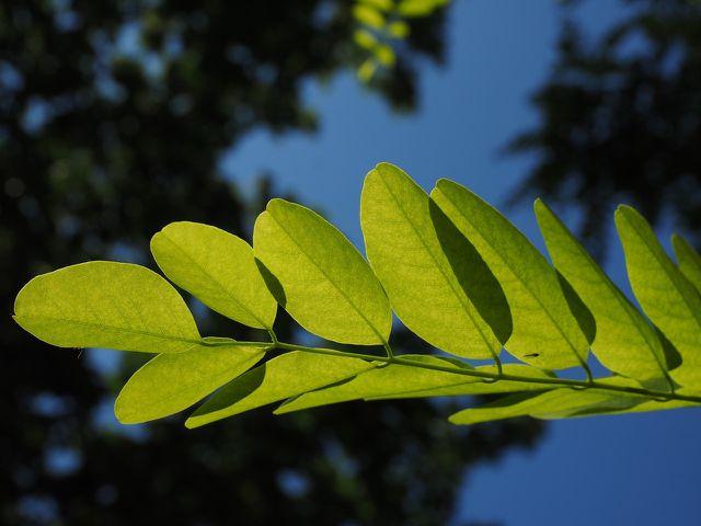 So sehen die Blätter der Robinie aus.