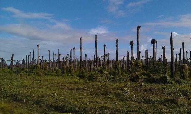 Palmölplantagen werden nach einigen Jahren zu trockenen, nährstofflosen Gebieten, auf denen auch kaum noch andere Pflanzen wachsen können.
