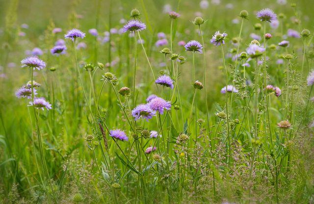 Skabiosen bringen Wildblumenwiesen-Charme in den Garten.