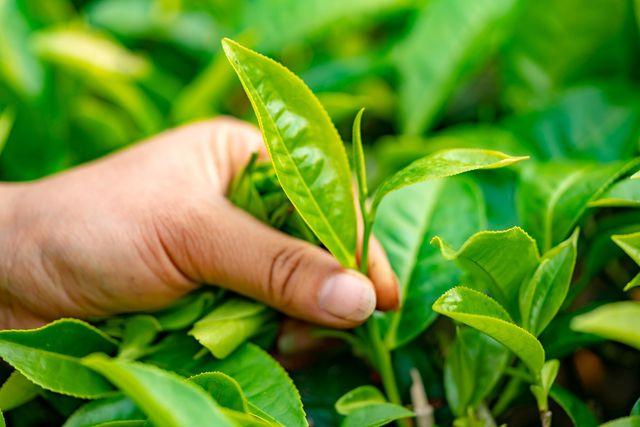 Die Arbeitsbedingungen auf konventionellen Teeplantagen sind oft schlecht.
