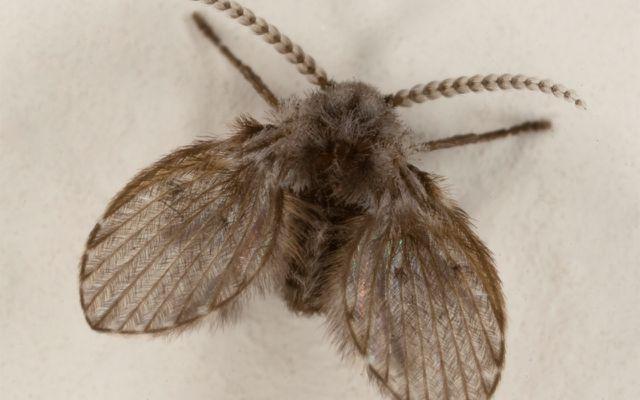 Drain Fly (Psychodidae)