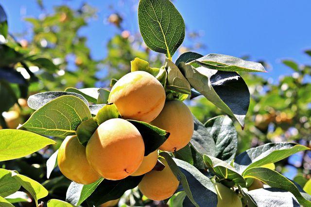 Der Aprikosenbaum gedeiht auch im Kübel gut.