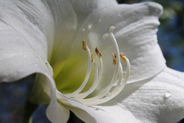 Weiße Amaryllis.