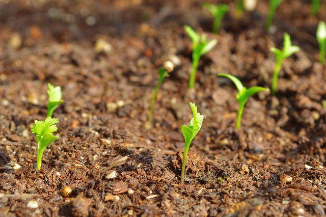 Koriander wächst am besten auf lockeren, durchlässigen Böden.