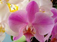 Dekorative Blüten der Schmetterlingsorchidee