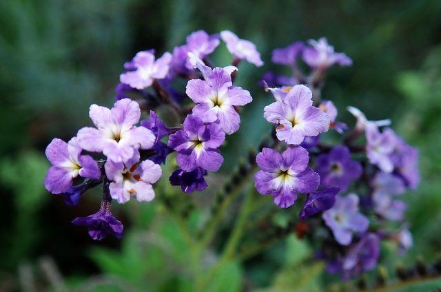 Die Farbpalette der Vanilleblume reicht von Weiß über Hellviolett bis zu einem intensivem Dunkelviolett.