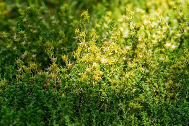 """Mauerpfeffer heißt mit botanischem Namen """"Sedum acre""""."""