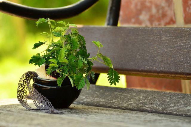 Den Sommer kann die Mimose auch draußen verbringen.
