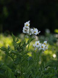 Kartoffelpflanzen, auch Frühkartoffeln, haben weiße Blüten.