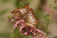 Insekten und Schmetterlinge bestimmen mit App