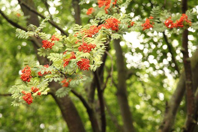 Die Eberesche wächst hoch und ist von große, grünen Blättern und farbigen Vogelbeeren geprägt.