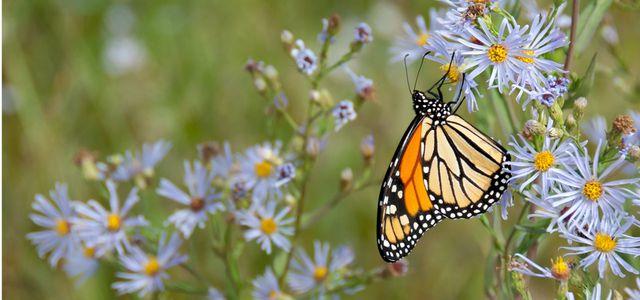 Insektensterben verhindern: Schmetterling, Blumenwiese