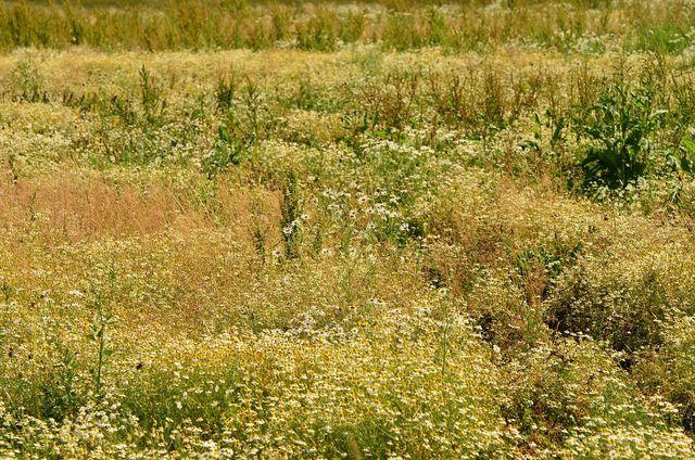 Brachliegende Flächen gelten als ökologische Vorrangflächen.