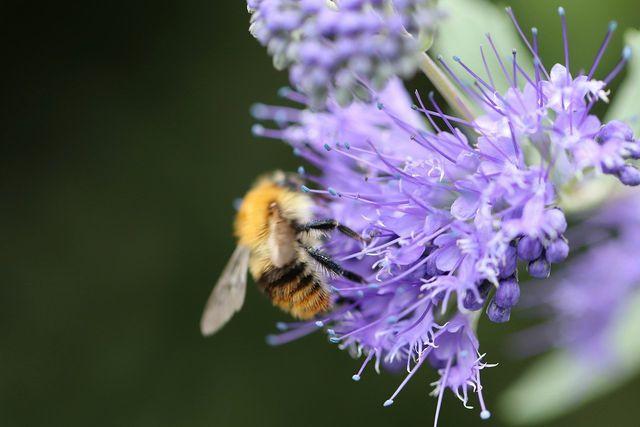 Bienen lieben die Phacelia wegen ihres Pollen- und Nektarangebots.