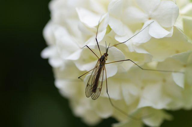 Lästige Mücken lassen sich mit Nelkenöl abschrecken.
