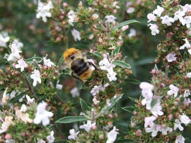 Bohnenkraut ist eine wertvolle Nahrungsquelle für Bienen.