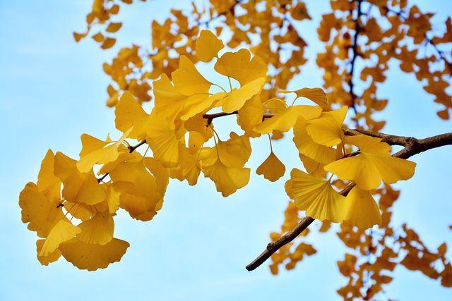 Im Herbst färben sich die Blätter des Ginkgo-Baums goldgelb.