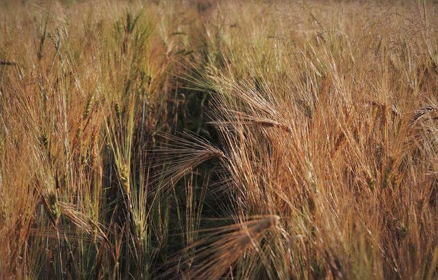 Bei Wassermangel vertrocknet die Ernte.