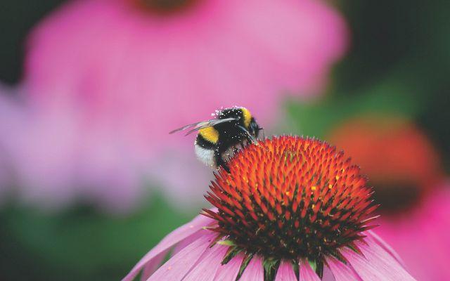 endangered bumblebees
