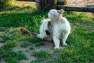 Katzen gehören zu den Tieren, die am häufigsten von Flöhen befallen werden.