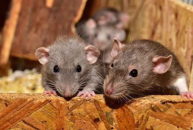 Wenn du ein ernsthaftes Rattenproblem hast, kann dir auch der Kammerjäger dabei helfen, die Ratten zu vertreiben.