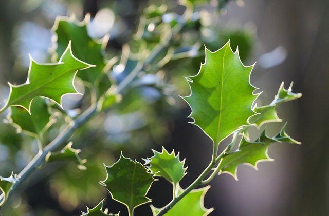 Die gezahnten Blätter sind charakteristisch für die Stechpalme.