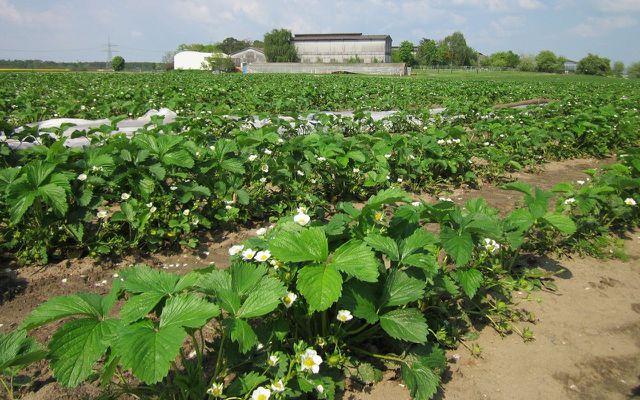 Erdbeeren Erdbeerfeld