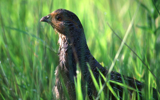 Rückgang der Vögel: Rebhuhn