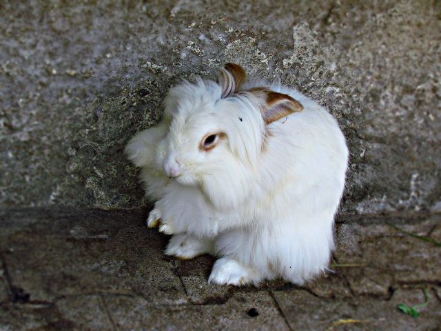 Angora Kaninchen leiden für die Wollproduktion