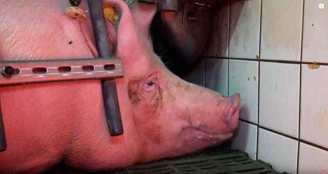 Schweinezucht, Youtuber, Vegan ist ungesund