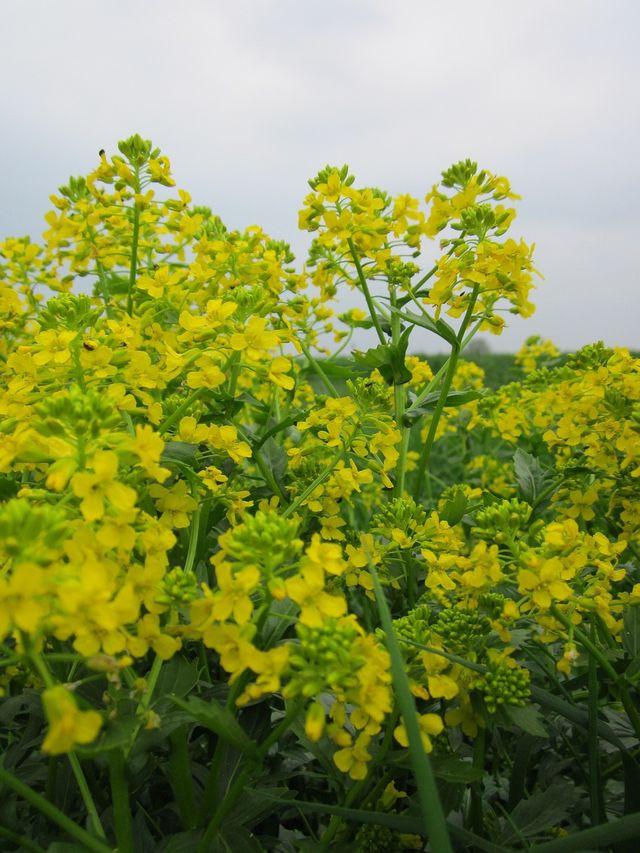 Barbarakraut ist eine anspruchslose Pflanze, sodass du sie leicht selbst anbauen kannst.
