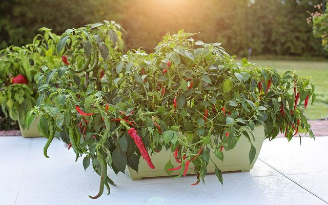 growing hot peppers in a pot