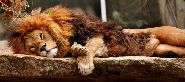 Der Chronotyp Löwe ist ein absoluter Frühaufsteher.