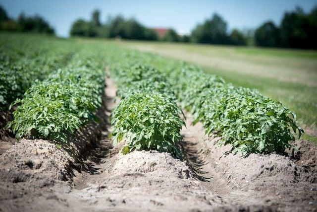 Kartoffeln nehmen übriggebliebenen Quecken das lebensnotwendige Licht weg.