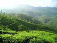 Assam Tee kommt aus Indien und wird in einem der größten Teeanbaugebiete der Welt angebaut.