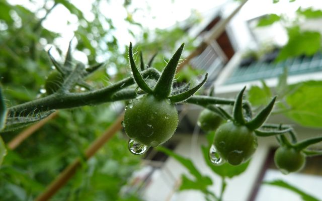 Planting tomatoes in pots fruit moisture levels green tomatoes