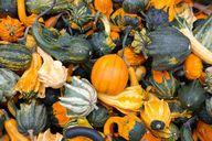 Im Herbst haben Kürbisse Hochsaison