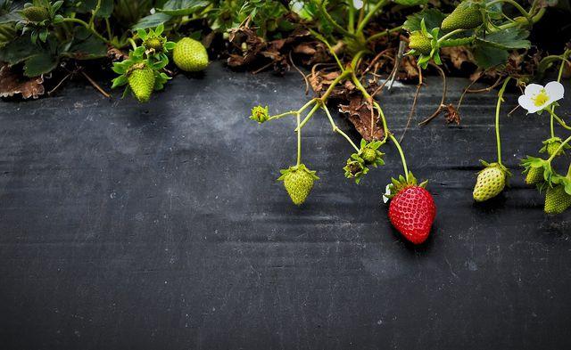 Erdbeeren zählen zu den Schwachzehrern