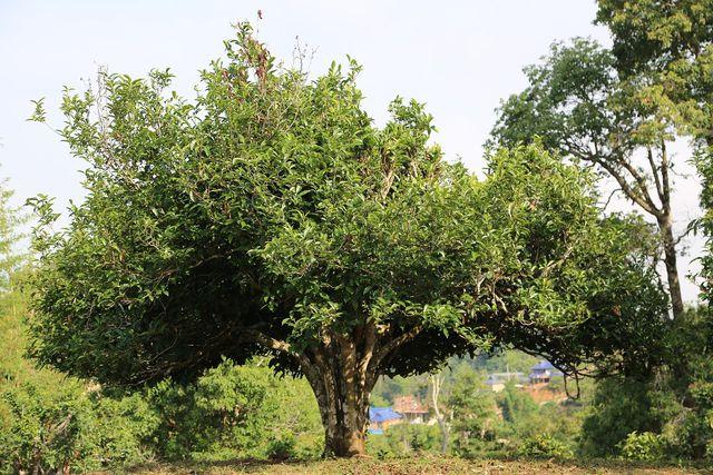 Pu-Erh-Tee von den Blättern des Qingmao-Baumes