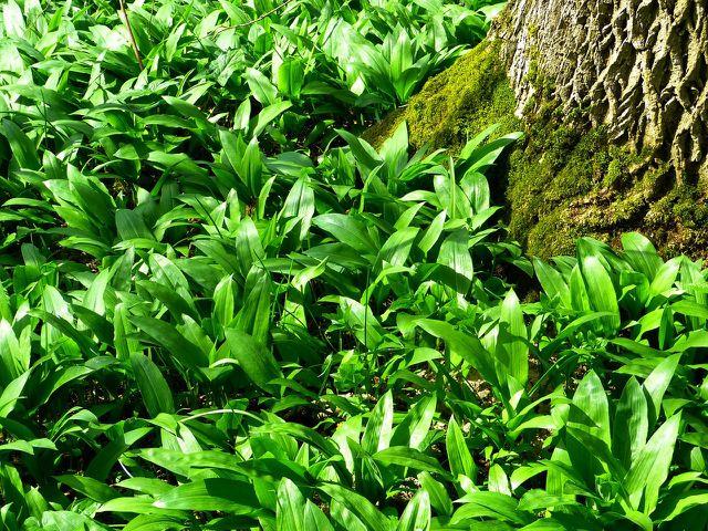 Bärlauch wächst meist in großen Kolonien im Wald.